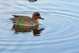 A green winged teal