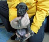 Brindle girl 3 weeks old