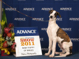 Melbourne Royal 2011 Baby of Breed