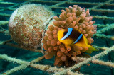 Anemonefish inside Vased Anemone