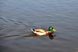 Duck near Charlotenburg Palace