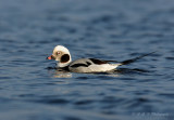 Long Tailed Duck 2.jpg