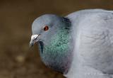 Rock Pigeon pb.jpg