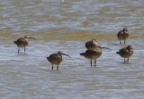 Whimbrel (6 of 174)