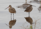 Marbled Godwit and Whimbrel