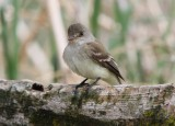 trails flycatcher