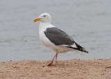 western_gull