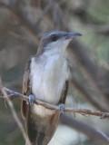 Yellow-billed Cuckoo (juvenile)