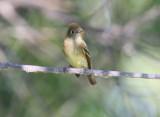 possible Yellow-bellied Flycatcher