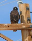 Red-tailed Hawk (dark form)