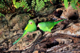 Canary-winged Parakeet (Brotogeris versicolurus)