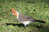 Red-crested Cardinal (Paroaria Coronata) Juvenile