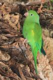 Canary-winged Parakeet (Brotogeris versicolurus)