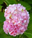 IMG_2244pinkflower.JPG