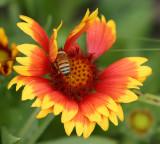 IMG_0697flowerbee.jpg