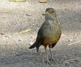 Rufous-bellied Thrush