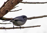 Masked Gnatcatcher (Polioptila dumicola) (Female)