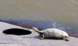 Turtle in Rio De La Plata