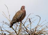 Picazuro Pigeon (Columba picazuro)