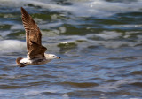 Olrog's Gull in Flight