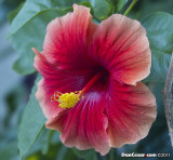 Royal Hibiscus