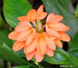 Orange Marmalade, Crossandra infundibuliformis
