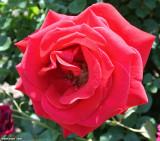 Rose at Vietnam Veterans Memorial