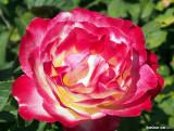 Rose at Loose Park