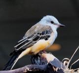 Scissor-Tailed Flycatcher, Juvenile