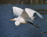 DSC00986 - Flight of the Egret