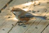 DSC01132 - Boreal Chickadee