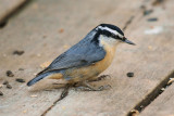 DSC01137 - Red-Breasted Nuthatch