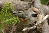 DSC01241 - Boreal Chickadee in Natural Environment