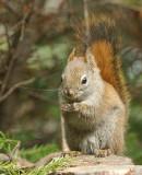 DSC01258 - Red Squirrel