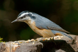_DSC1428 - Red-Breasted Nuthatch