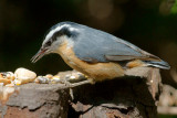 _DSC1421 - Red-Breasted Nuthatch