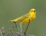 _DSC1993 - Yellow Warbler**WINNER**