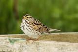 _DSC1616 - Savannah Sparrow