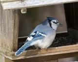 _DSC3743 - Bluejay at Feeder