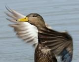 _DSC5502 - Mallard Hen Drying Wings