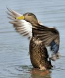 _DSC5502 - Mallard Hen Drying Wings (full)