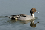 _DSC5510 - Male Northern Pintail