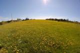 _DSC6077 - Field of Dandelion**WINNER**