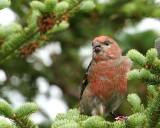 DSC00203 - Pine Grosbeak
