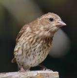 DSC02807 - Female Purple Finch