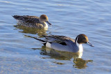 A pair of Pintail Ducks on Quidi Vidi Lake