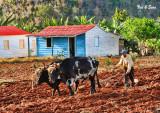 Cuba farming today