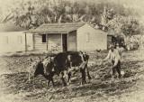 Cuba farming 100 years ago