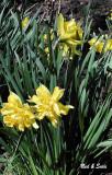 Spring Dafodils
