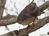 Épervier brun 17  Repentigny 18-03-2011.jpg